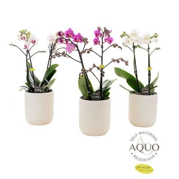 Phalaenopsis 2 tak   in aquo wit ribbel keramiek