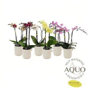 Phalaenopsis 3 branch  in aquo white ribbed ceramics