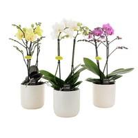 Phalaenopsis 2 Zweig in weißer Keramik