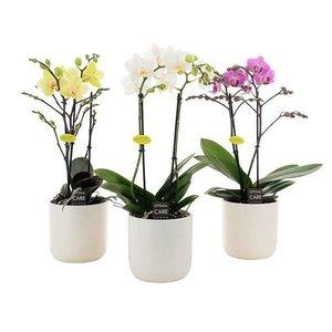 Phalaenopsis 2 tak in wit keramiek