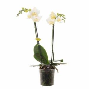 Phalaenopsis 2 tak  Hikari