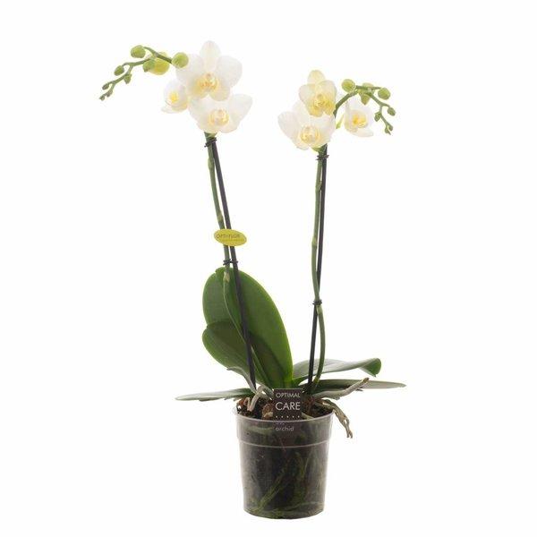 Phalaenopsis 2 branches Hikari