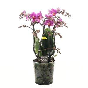 Phalaenopsis 4 tak little pinky