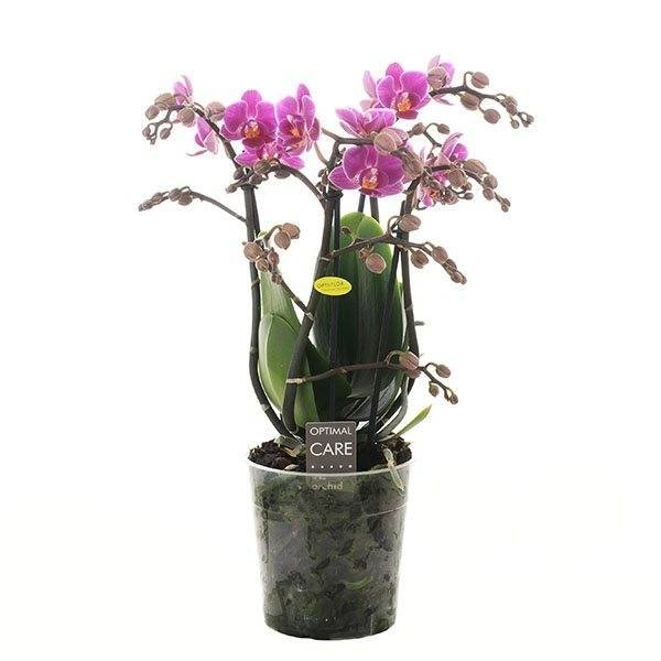 Phalaenopsis 3 tak little pinky