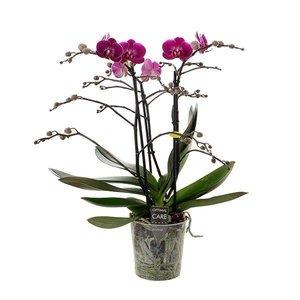 Phalaenopsis 3 tak  Morelia
