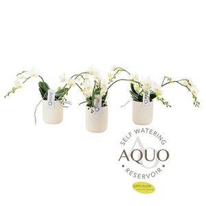 Phalaenopsis 3 tak  Artisto nouveau aquo keramiek