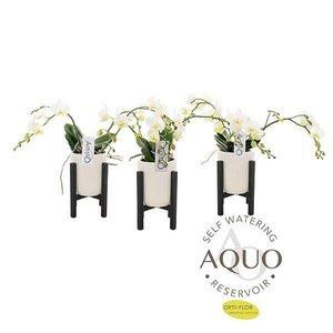 Phalaenopsis 3 tak  Artisto nouveau aquo keramiek + rek