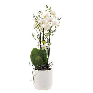 Phalaenopsis 3 tak popcorn in wit keramiek