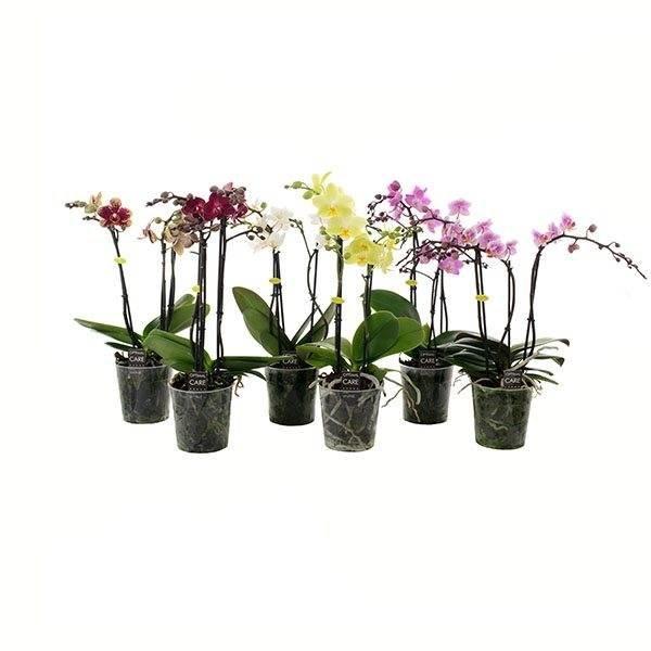 Phalaenopsis 3 tak gemengd in trays