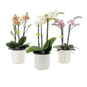 Phalaenopsis 3 Zweig in weißer Keramik
