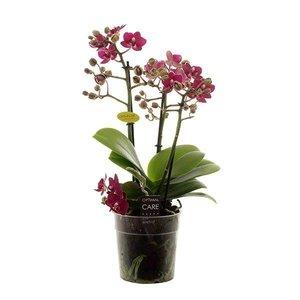 Phalaenopsis 4 tak yusan swift