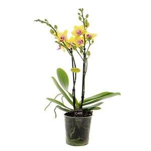 Phalaenopsis 2 tak spunky
