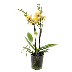 Phalaenopsis Spunky