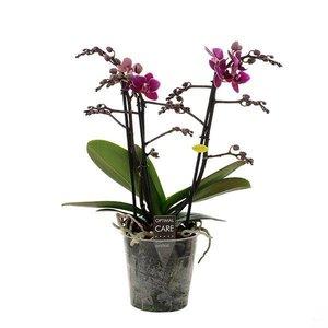 Phalaenopsis 3 tak purple princess