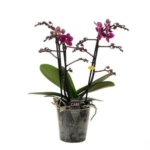Phalaenopsis 3 branch purple princess