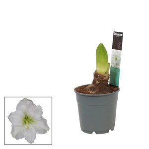Hippeastrum  Blanc 2 boutons Extra