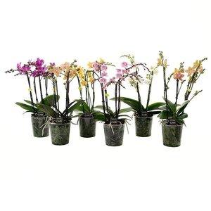 Phalaenopsis 4 tak gemengd