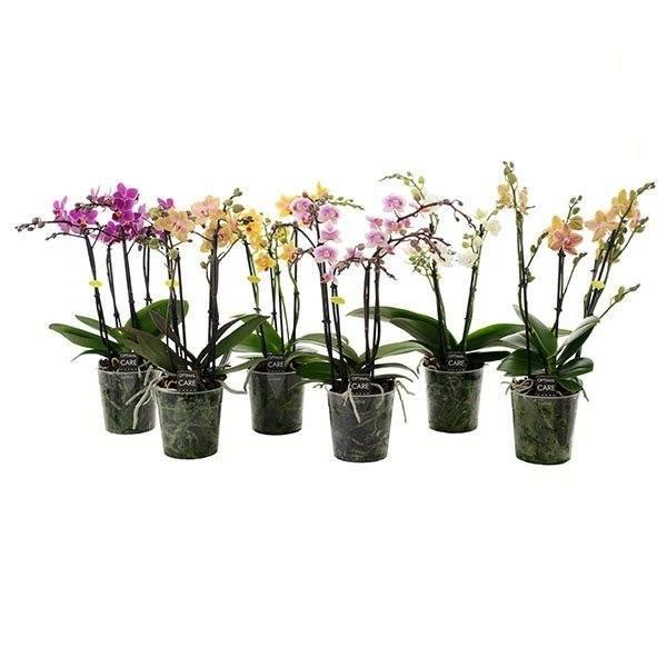 Phalaenopsis 4 Zweig gemischt
