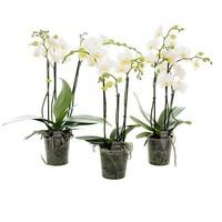 Phalaenopsis 3 branch multi large white