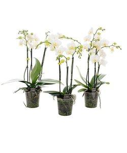 3 branch multi large white