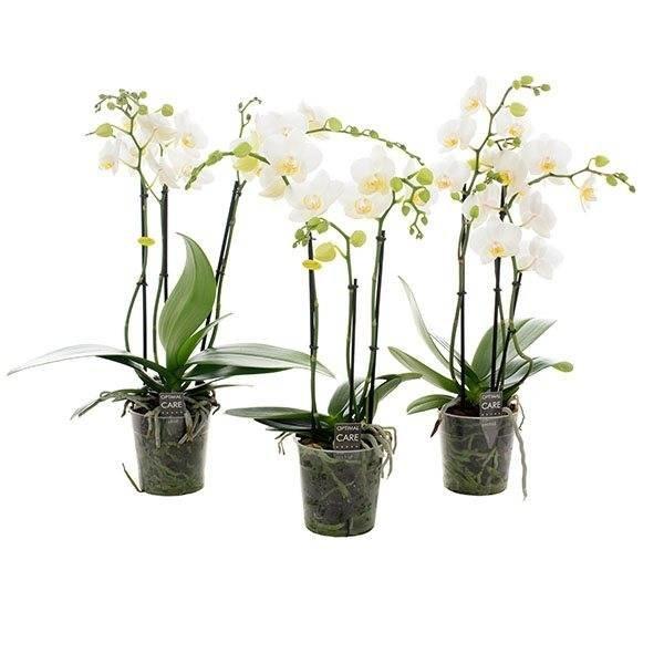Phalaenopsis 3 Niederlassung multi große weiße