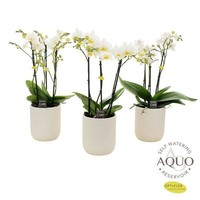 Phalaenopsis 3 branches blanches en céramique blanche