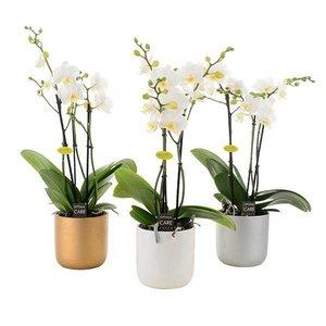 Phalaenopsis 3 tak wit in keramiek