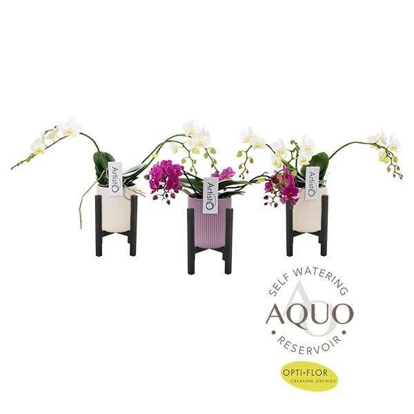 Phalaenopsis 3 Niederlassung Artisto Weiß Kontrast Aqua Keramik + Rack