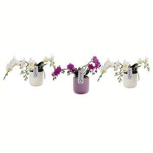 Phalaenopsis 3 tak Artisto white contrast color keramiek