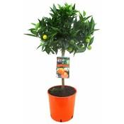 Citrus clementine (Mandarijn) 75 cm