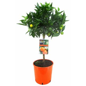 Citrus Zitrusfrüchte Klementine (Mandarine) 75 cm