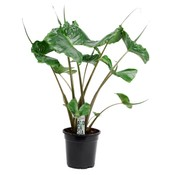 Alocasia Alocasia macrorrhiza Stingray 2 PP