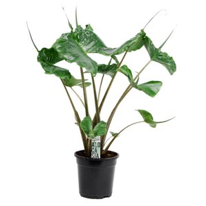 Alocasia macrorrhiza Stingray 2 PP