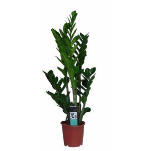 Zamioculcas with 5 springs