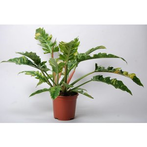 Philodendron narrow 'Ring of Fire'