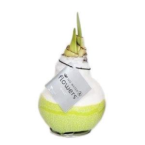 Amaryllis Amaryllis Keine Wasserblumen Waxz® Dipz Color