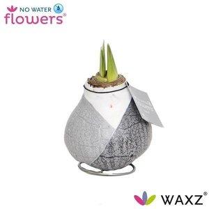 Amaryllis Waxz® Giletz sans fleurs d'eau