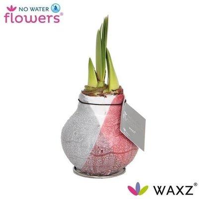 Amaryllis Kein Wasser blüht Waxz® Giletz