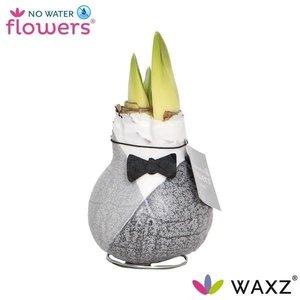Amaryllis Noeud papillon Waxz® Giletz sans fleurs d'eau