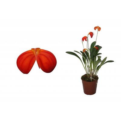 Bijzondere Orchideeën Spezielle Orchideen Masdevallia Ignea