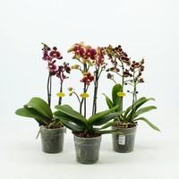 Phalaenopsis 2 branch harlequin