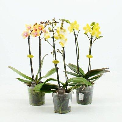 Phalaenopsis Phalaenopsis 2 tak geel