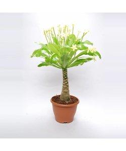 (Hawaiian Palm) XL
