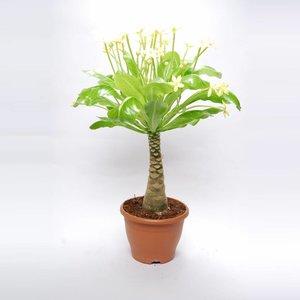 Brighamia Insignis Brighamia Insignis (Hawaiian Palm) XL