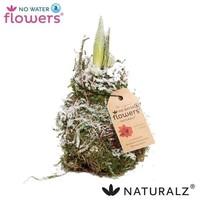 Amaryllis No Water Flowers Waxz® Naturalz Moss snow