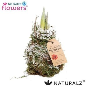 Amaryllis No Water Flowers Waxz® Naturalz Moss snow