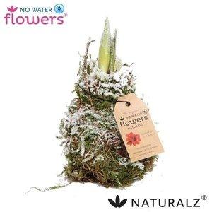 Amaryllis Pas de fleurs d'eau Waxz® Naturalz Moss neige