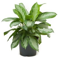 Aglaonema Aglaonema Silber Bay Pot 26 cm