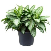 Aglaonema Aglaonema silver bay Pot 35 cm
