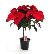 Poinsettia (Kerstster) op stam Rood 65 cm